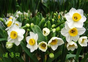 谜底是水仙花的谜语 关于水仙花的谜语