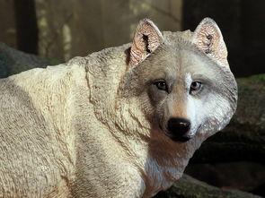 wolf狼-狼 Wolf