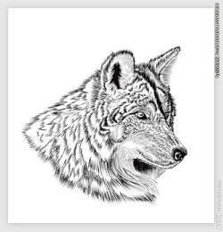 手绘狮子 手绘素描 插画图片