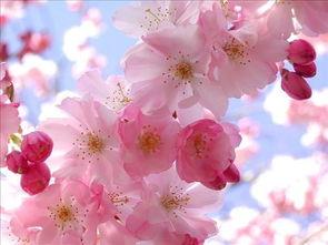 而现代植物学是区分的,认为两者虽同属蔷薇科,但不是同种.   樱花...