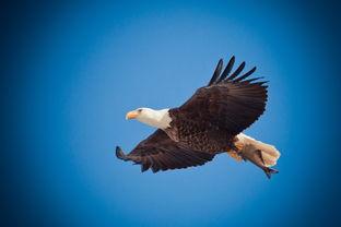 飞翔的老鹰图片 第8张