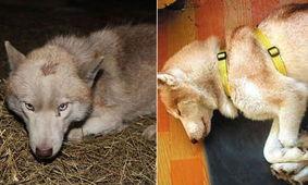 西伯利亚哈士奇(siberian husky)是原始的古老犬种,名字的由来是...