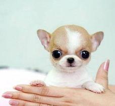 ...年出售健康纯种吉娃娃幼犬 请问买那种吉娃娃犬多少钱一条 成都出售...
