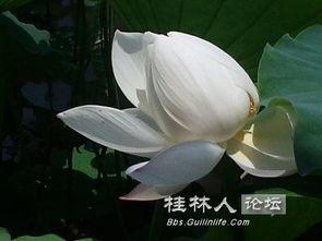 白莲茶树菇乳鸽汤的做法
