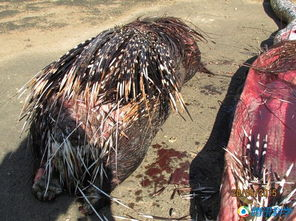 ...择.2003年的一项研究就发现,一只箭猪的体刺完全能够刺穿一条蛇...