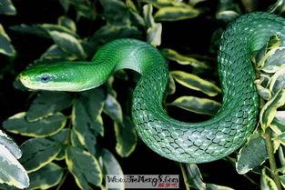 梦见被一条绿蛇咬