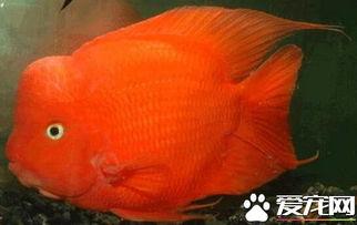 财神鱼打架怎么办 它的混养对象很重要