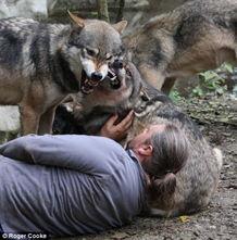 """陷阱捕到第一只兔子.他的饮食与狼相似.""""一顿生肉可以为我提供走..."""