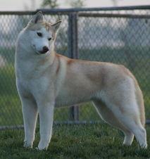 哈士奇 英文名 西伯利亚雪橇犬Siberian Husky