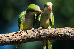 和尚鹦鹉会说话吗 和尚鹦鹉说话能力