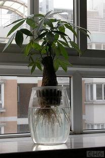求助 水培发财树叶子有黄斑