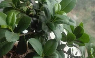土培人参榕叶子发黄怎么办 怎么水培 怎么嫁接