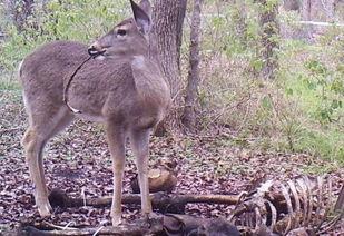 直播采蘑菇遇腐尸 小鹿在尸体农场啃食人类腐尸 组图