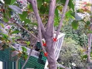 剪红花步骤-修剪后的对比图,剪口尽量接近枝节处.   3、桂花树多头分枝去弱留...