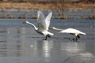 河北宣化黄羊滩候鸟嬉戏
