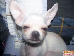 100元的吉娃娃狗-看狗狗-吉娃娃照片 吉娃娃照片 100 3943 小白 五个月 XIN921160311