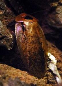 ...拍摄的珍稀动物秘鲁巨人蟑螂,其身长约7厘米.新华社记者 -70余种...