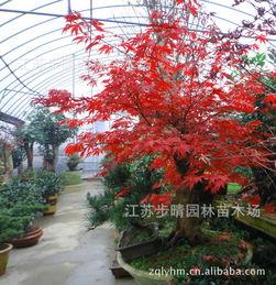 日本红枫盆景图片图集,美国红枫盆景图片,日本长寿梅-我的日本红...
