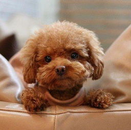 ...理由告诉你饲养泰迪犬好不好