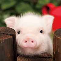 简笔画小萌猪是怎么画的