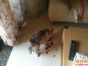 西伯利亚雪橇犬照片 犯罪现场之玫瑰 babyfaceqq
