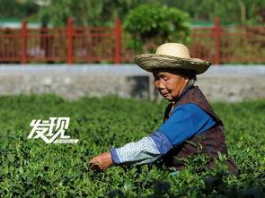 留守老人、妇女也会在农忙之余走进茶园,挣些积蓄.(图/黄自珉)-...