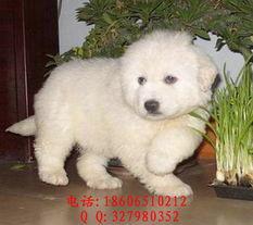 标题 杭州哪有大白熊 大白熊价格 纯种大白熊 杭州大白熊犬多少钱