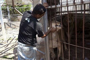 """冰恋美尸图-图中在爱抚一头狮子的饲养员Farid告诉记者,这里曾经很美.""""8只猴..."""