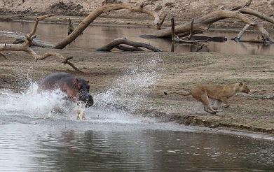 母狮过河遭河马拦路落荒而逃