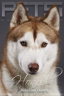 全名:西伯利亚雪橇犬简称:哈士奇英文名:siberian husky类型:中...