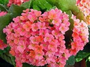 优良室内盆花.冬季布置厅堂、居室,春意盎然.   山茶花是我国西南...