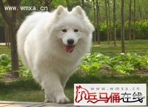 萨摩耶犬幼崽多少钱 萨摩耶犬好养吗