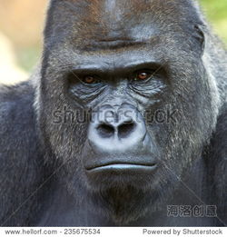 ...石背景 险恶的类人猿的表达,最危险的和世界上最大的猴子 的一个大...