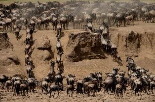 成功穿越Grumeti河的牛羚.-摄影师镜头下的狂野非洲