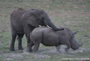 动物荒唐性行为 大象与犀牛交配目瞪口呆