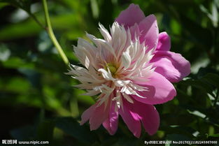 芍儿花-芍花图片