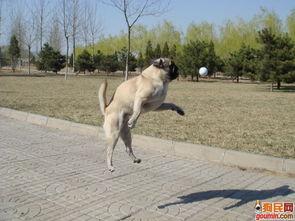 哈士奇犬照片 西伯利亚雪橇犬照片 叼球高手2 meixianglun