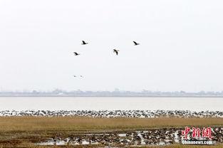 ...江西省永修县的鄱阳湖大湖池候鸟保护区,近万只候鸟聚集栖息,或...
