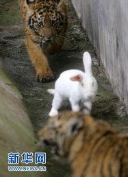 ...汉动物园上演 兔子戏老虎