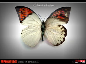 罕见的美丽蝴蝶