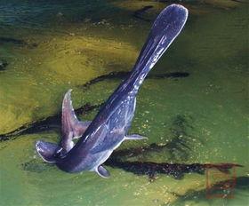 鸭嘴鱼学名:美国匙吻鲟(又名鸭嘴鲟)英文名:Polyodonspathala ...