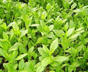 最美药用植物 人参,属于五加科植物,具有轻微特异的香气,是一味名...