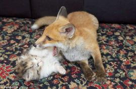 ...狸因受伤被送往英国一家动物救助中心救治.-受伤狐狸与小猫成密友...