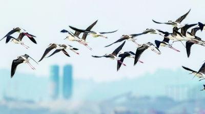 ...雁、天鹅等水鸟的理想栖息地.图为一群黑翅长脚鹬在松雅湖上空翱...