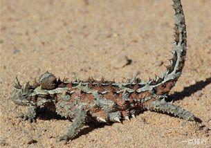 刺世龙雀-多刺龙是一种澳大利亚蜥蜴,身长可达20厘米,寿命可达20年.它们全...