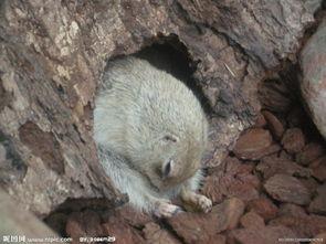天竺鼠图片