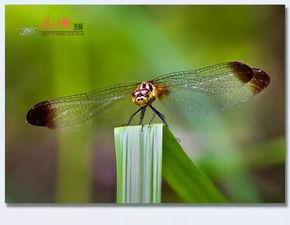 虫来的修界-珍稀物种 称霸昆虫界的蜻蜓