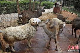 人与羊配种-...纯子
