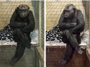 英国动物收容所用过期品喂食 猩猩患忧郁症 图