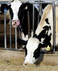Cow genome unraveled in a bid to improve meat, milk